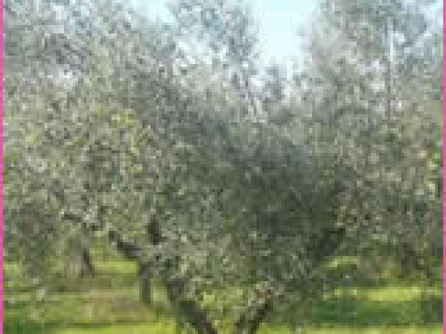 La fabrication de l'huile d'olive au Moulin des Costes à Pélissanne